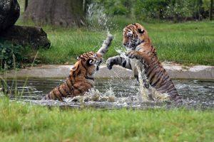 tiger-1531731_960_720-pby